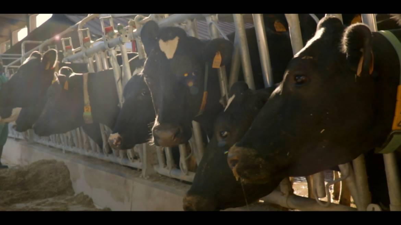 L'importanza del microclima nelle stalle da latte