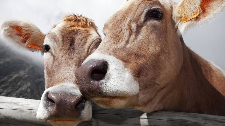 mucche-felici.jpg