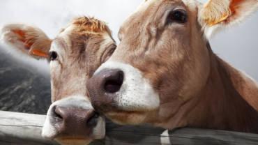 Latte più nutriente dalle mucche felici