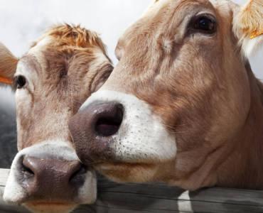 """Anche le mucche da latte subiscono i """"turbamenti"""" adolescenziali"""
