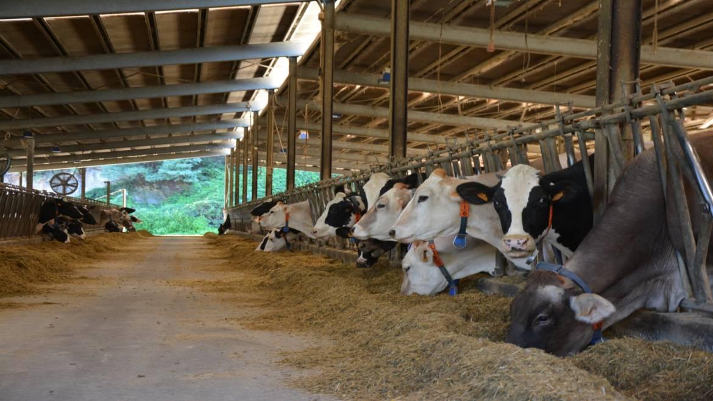 Stalle per vacche da latte: quanti tipi ce ne sono?
